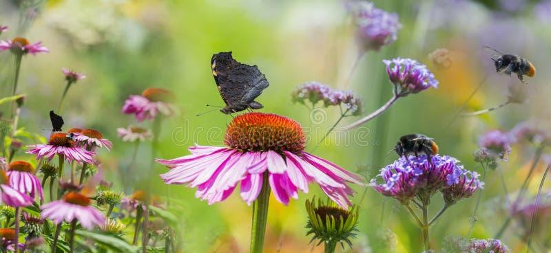 Coneflower y mariposas y abejorros fotografía de archivo