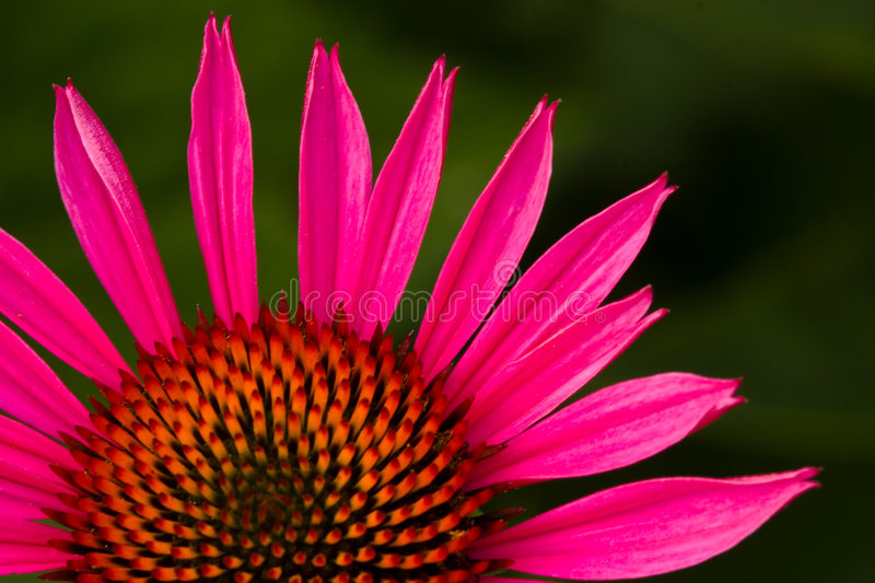Coneflowers 4597 stockfoto