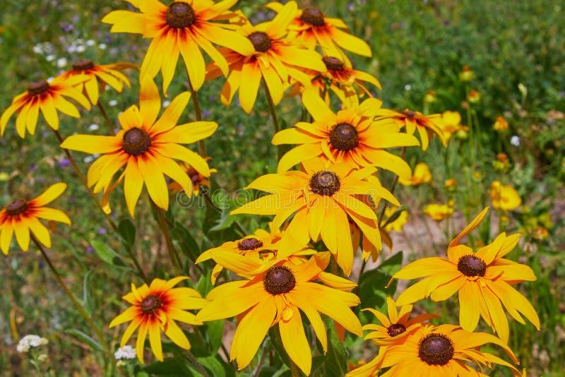 Coneflowers amarelos do Rudbeckia, close-up preto-eyed-susans das flores Rudbeckia no jardim imagens de stock