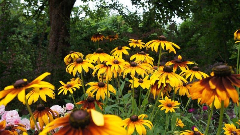 Coneflowers jaune ou et x28 ; Rudbeckia& x29 ; été de hirta photo libre de droits