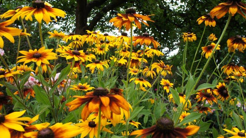 Coneflowers jaune ou et x28 ; Rudbeckia& x29 ; été de hirta photos stock