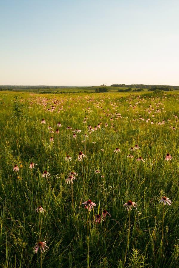 Coneflowers púrpura en la pradera de Kon-Tah del ` de Wah en Missouri fotos de archivo libres de regalías