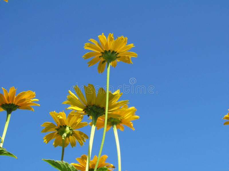 Coneflowers, Sun-Hut stockbild