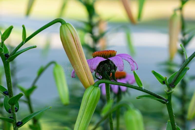 Coneflowers und Tigerlilien sind ein kombinierter Favorit stockfoto