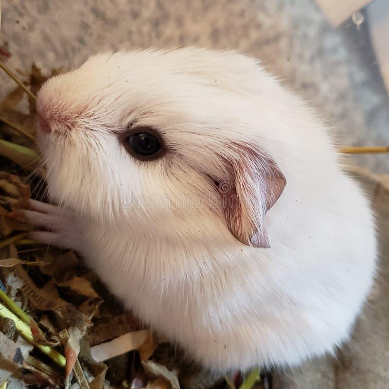 Conejillo de Indias blanco del beb? foto de archivo libre de regalías