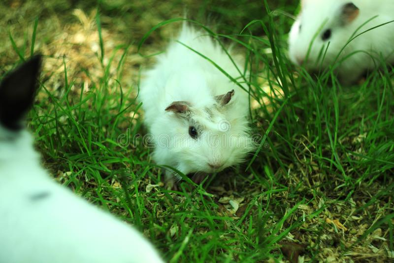 Conejillo de Indias coloreado blanco del bebé recién nacido también conocido como el cavy, el cavy nacional o cavia pastando una  imágenes de archivo libres de regalías