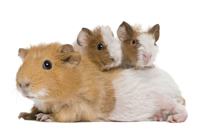 Conejillo de Indias de la madre y sus dos bebés imagenes de archivo