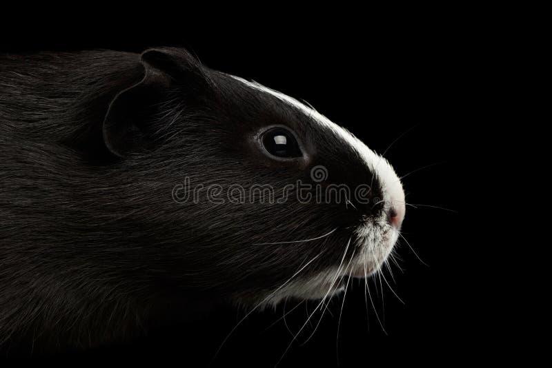 Conejillo de Indias del primer en fondo negro aislado fotografía de archivo