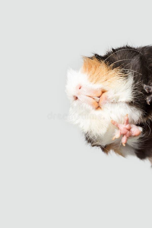 Conejillo de Indias divertido imagen de archivo