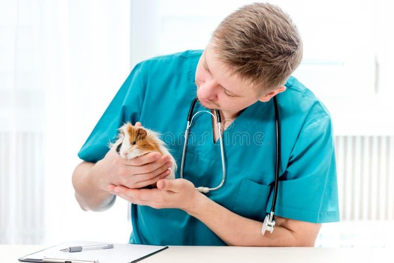 Conejillo de Indias de examen veterinario en la oficina veterinaria imágenes de archivo libres de regalías