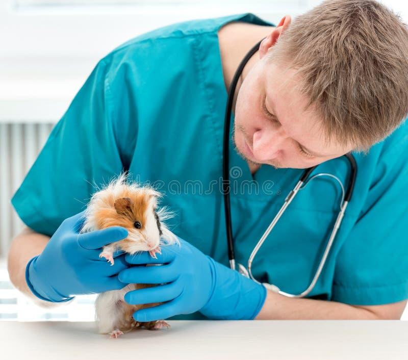 Conejillo de Indias de examen veterinario en la oficina veterinaria imagen de archivo libre de regalías