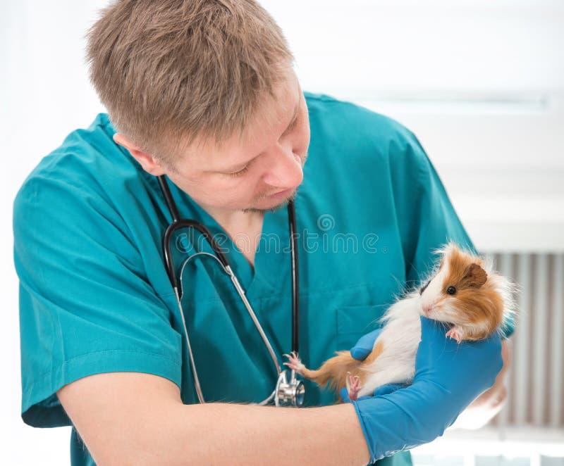 Conejillo de Indias de examen veterinario en la oficina veterinaria imagen de archivo