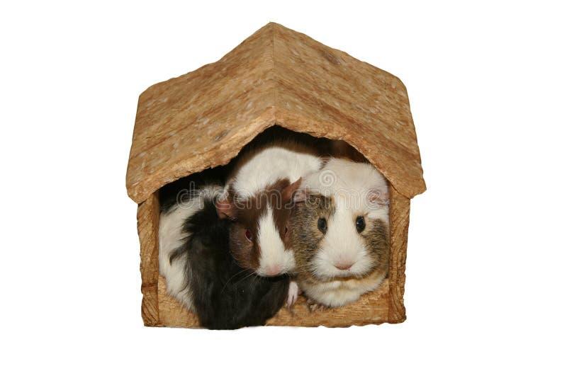 Conejillos de Indias en hogar apretado imagen de archivo libre de regalías