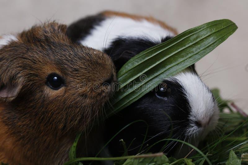 Conejillos de Indias lindos con una hoja verde foto de archivo libre de regalías