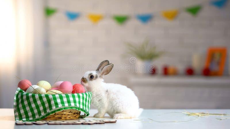 Conejito de pascua curioso que huele los huevos coloridos en la cesta adornada, tradición imagen de archivo