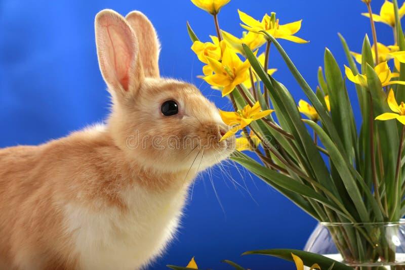 Conejito de pascua y tulipanes amarillos imagen de archivo libre de regalías