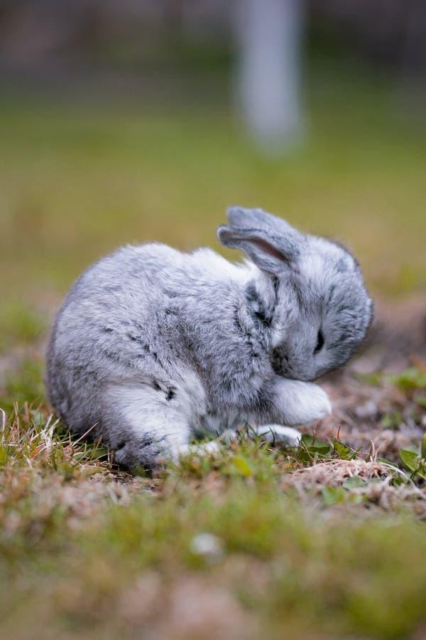 Conejito gris en el jard?n foto de archivo libre de regalías