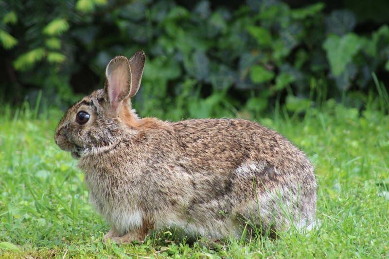 Conejito que se sienta en la hierba con los oídos animados para arriba imagenes de archivo