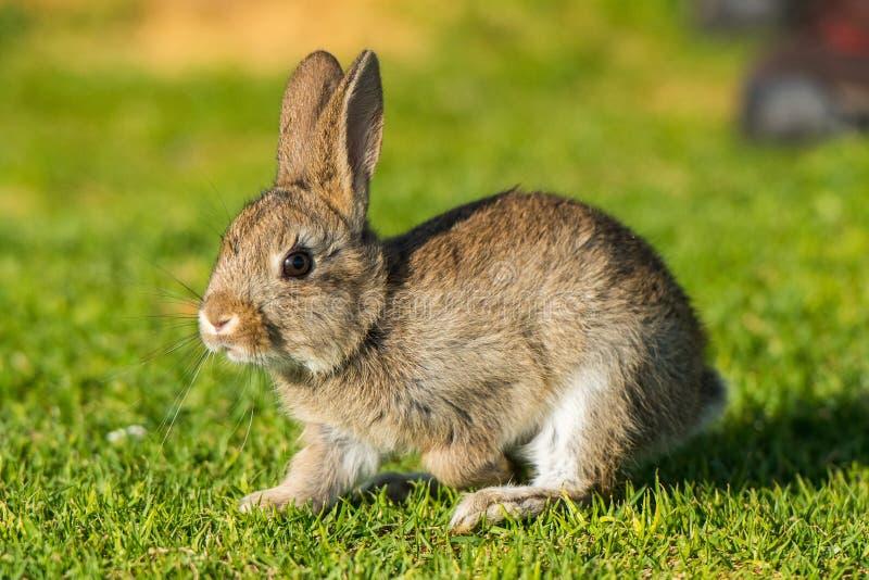 Conejito salvaje del perrito de Jack de las liebres jovenes del conejo foto de archivo