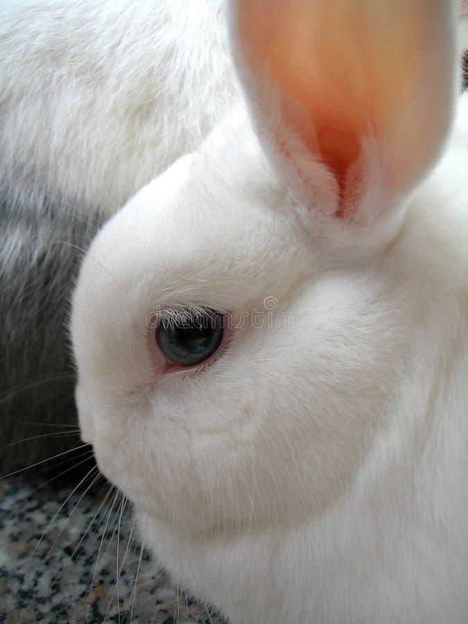 Conejo Foto De Archivo Gratis
