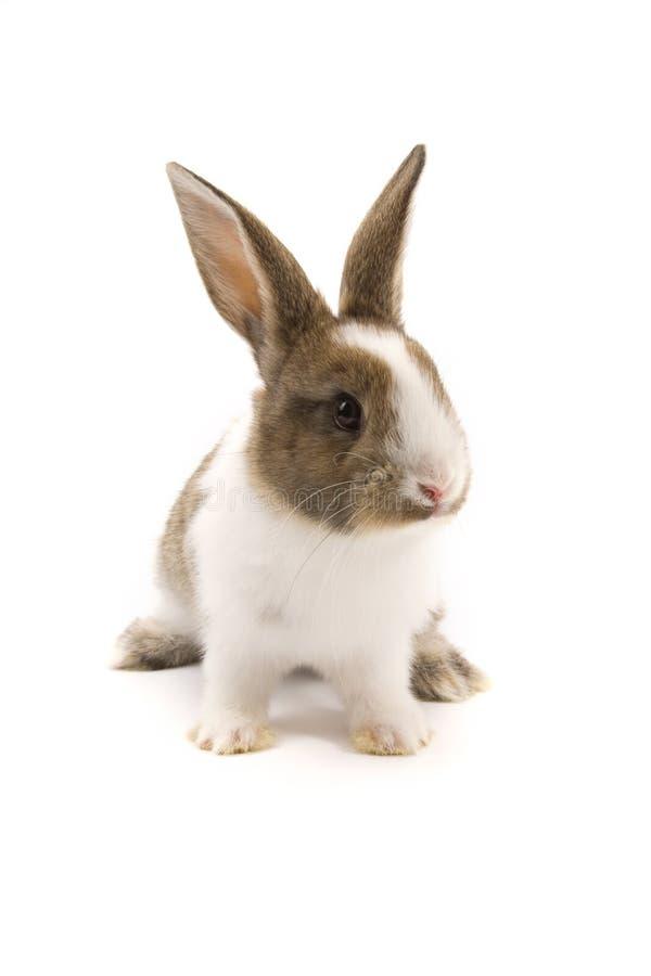 Conejo adorable aislado en blanco foto de archivo libre de regalías