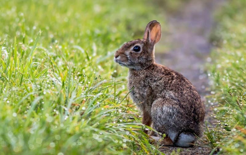 Conejo adorable a lo largo del rastro herboso en el rocío de la mañana fotos de archivo