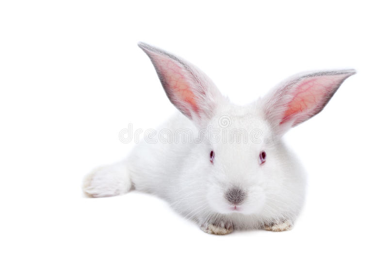Conejo aislado blanco lindo del bebé foto de archivo libre de regalías