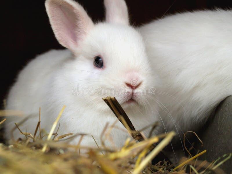 Conejo blanco fotografía de archivo