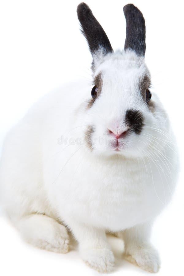 Conejo blanco fotografía de archivo libre de regalías