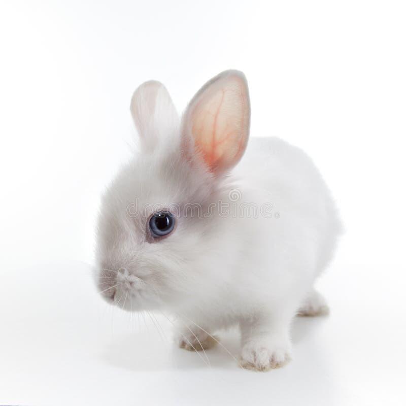 Conejo blanco aislado en blanco fotos de archivo libres de regalías