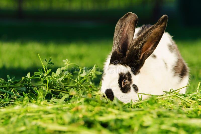 Conejo blanco con los puntos negros que descansan sobre la hierba fotos de archivo