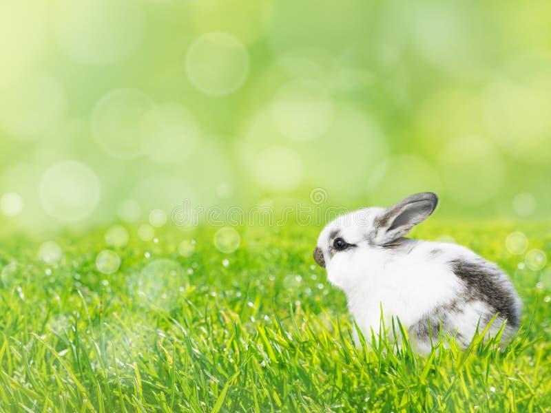 Conejo blanco de Pascua en el fondo de la primavera del césped de la hierba verde foto de archivo