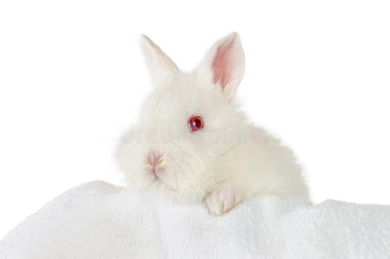 Conejo blanco del bebé foto de archivo libre de regalías