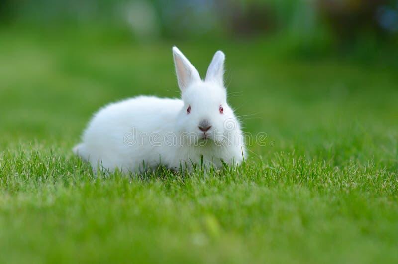 Conejo blanco del bebé divertido en hierba imagenes de archivo