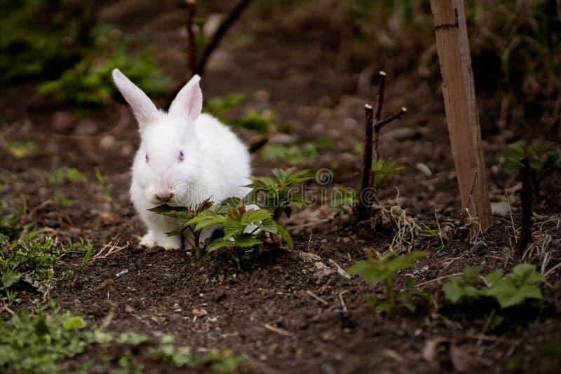 Conejo blanco en el jardín imagen de archivo libre de regalías