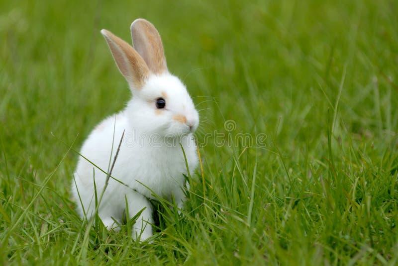 Conejo blanco en la hierba foto de archivo libre de regalías
