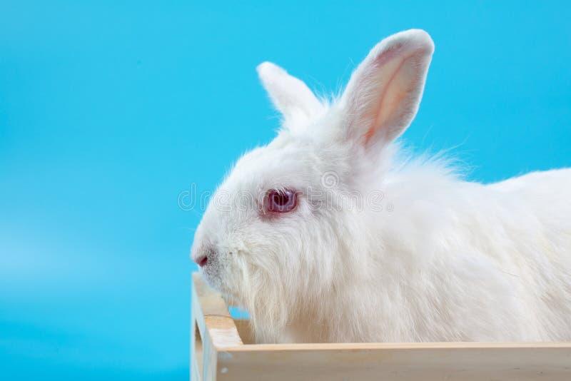 Conejo blanco en un fondo azul con la caja de madera Día feliz de Pascua Conejo blanco en fondo azul Conejito blanco lindo del be imágenes de archivo libres de regalías