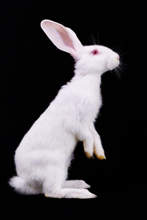 Conejo blanco mullido imagenes de archivo