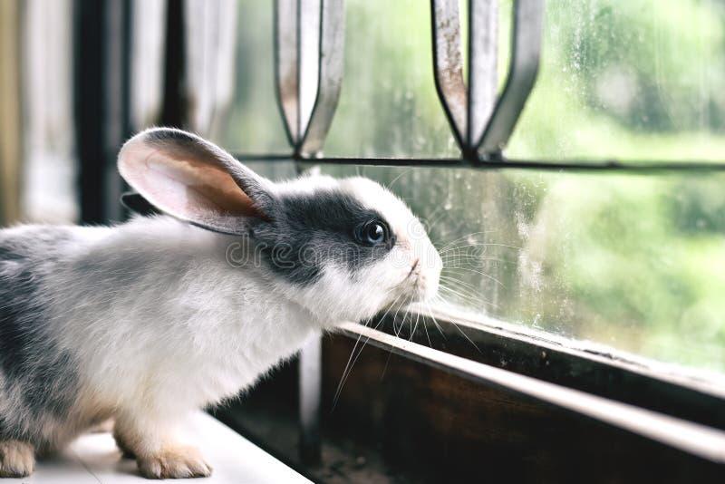 Conejo blanco que mira a través de la ventana, pequeño conejito curioso que tiene cuidado la ventana en día soleado fotografía de archivo