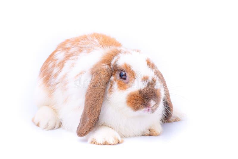 Conejo blanco y marrón poco de conejito en el fondo blanco con tema fotografía de archivo