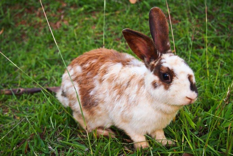 Download Conejo Blanco Y Marrón Que Se Sienta En La Hierba, Sonriendo En La Cámara Con El Fondo Verde Foto de archivo - Imagen de golfo, peludo: 41916626