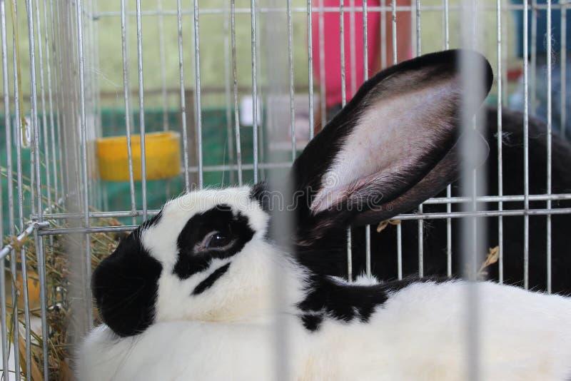 Conejo blanco y negro, mirándole fotos de archivo