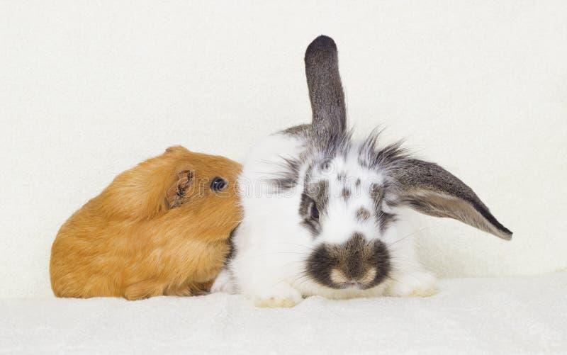 Conejo blanco y negro y un conejillo de Indias de oro imagen de archivo libre de regalías