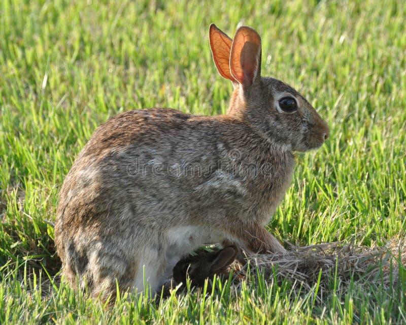 Conejo con el conejo del bebé imagen de archivo libre de regalías