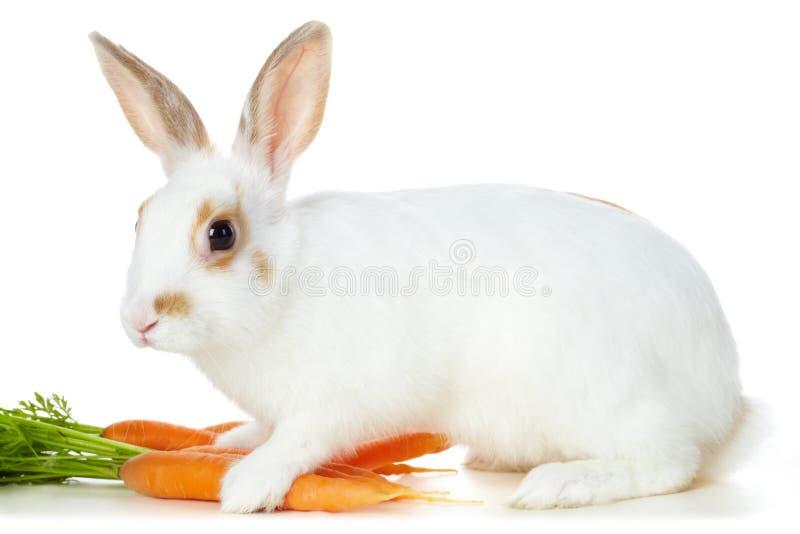 Conejo con las zanahorias fotografía de archivo