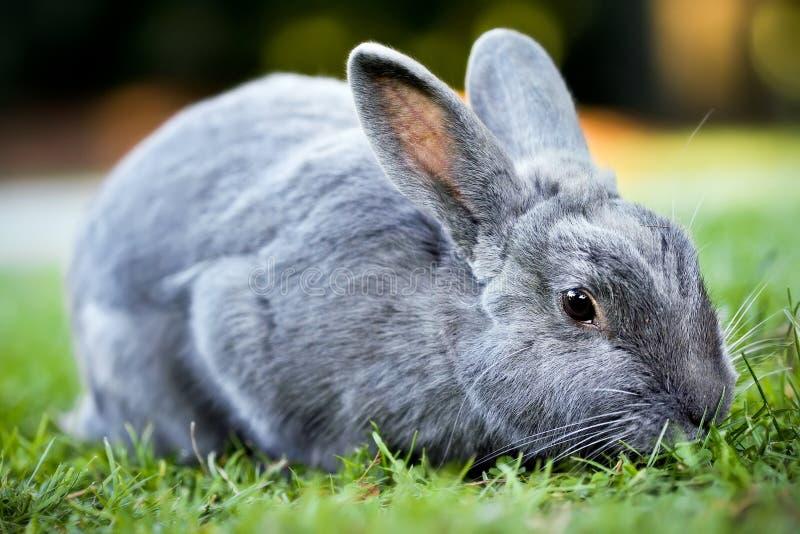 Conejo de conejito gris fotos de archivo libres de regalías