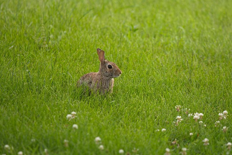 Conejo de conejito joven que oculta en hierba fotos de archivo