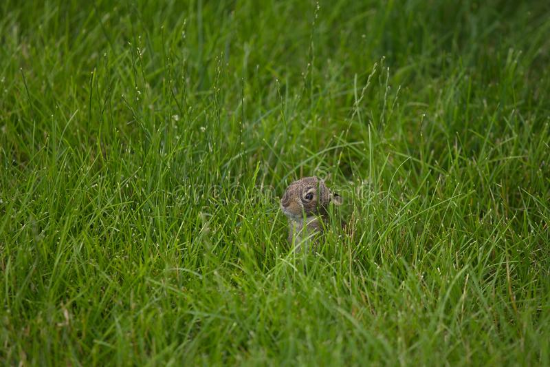 Conejo de conejito joven que oculta en hierba alta fotos de archivo libres de regalías