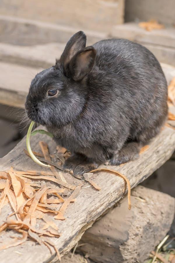 Conejo de conejito negro en la granja urbana, Alemania fotografía de archivo