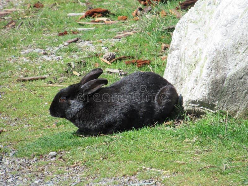 Conejo de conejito negro lindo en la hierba en una tarde temprana de la primavera en la playa de Jericó, Vancouver, marzo de 2018 fotos de archivo